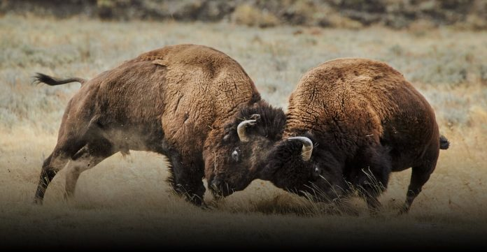 National Geographic Yellowstone Live Sweepstakes